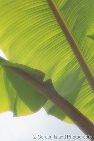 Banana Leaves_9509