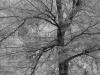 Ironwood Tree_9292