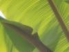 Banana Leaves_9509