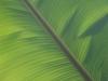 Banana Leaf_9513