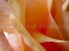 Rose-1538