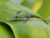 Anole-3281