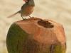 cardinal-coconut-0145