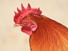Rooster img_9078