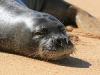 Monk Seal-4076