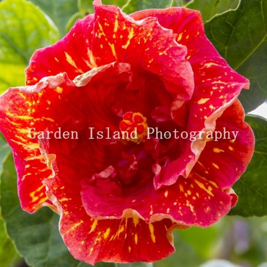 hibiscus-3479