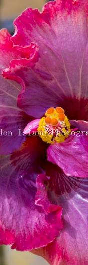 hibiscus-3511-2