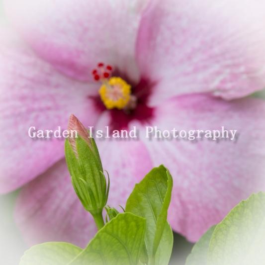 hibiscus-3934