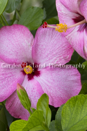 hibiscus-3938-2
