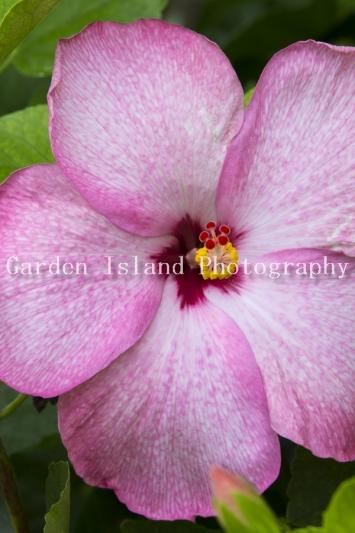 hibiscus-3941