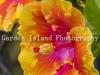 hibiscus-3474