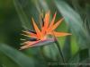 Bird of Paradise 9374