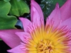 Water Lilly 0381_1