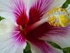 Magenta Hibiscus 7659
