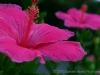 Hibiscus 8149