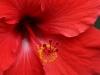 Hibiscus_8910