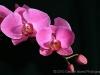 Lavender Orchid 5102