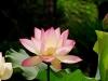 Lotus0008_r1