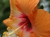 Orange Hibiscus 0186