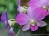 Purple Orchid 1446