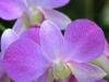 Purple Orchid 1504