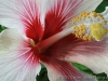 Red & White Hibiscus 7659
