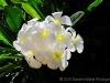 White Plumaria 0052