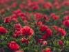 Red Hibiscus-6737_0