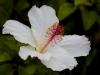 Hibiscus-8296-edit