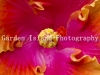 Hibiscus -3467-3