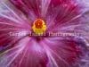 Hibiscus 3487
