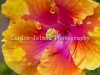 Hibiscus -3498