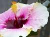 hibiscus-3508-edit