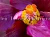 Hibiscus -3511-2