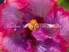 Hibiscus 3511