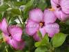 Hibiscus -3938