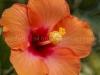 Hibiscus 1058