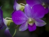 Orchid 1446
