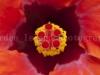 Hibiscus 2360-2