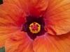 Hibiscus 2360