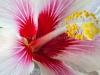 Hibiscus 7659