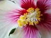 Hibiscus 7686