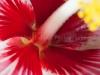 Hibiscus _7732