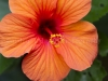 Hibiscus 0485