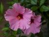 Pink Hibiscus_6028