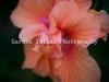 Hibiscus 3145-2